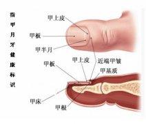"""手指甲""""月牙""""反映健康状况 中医"""